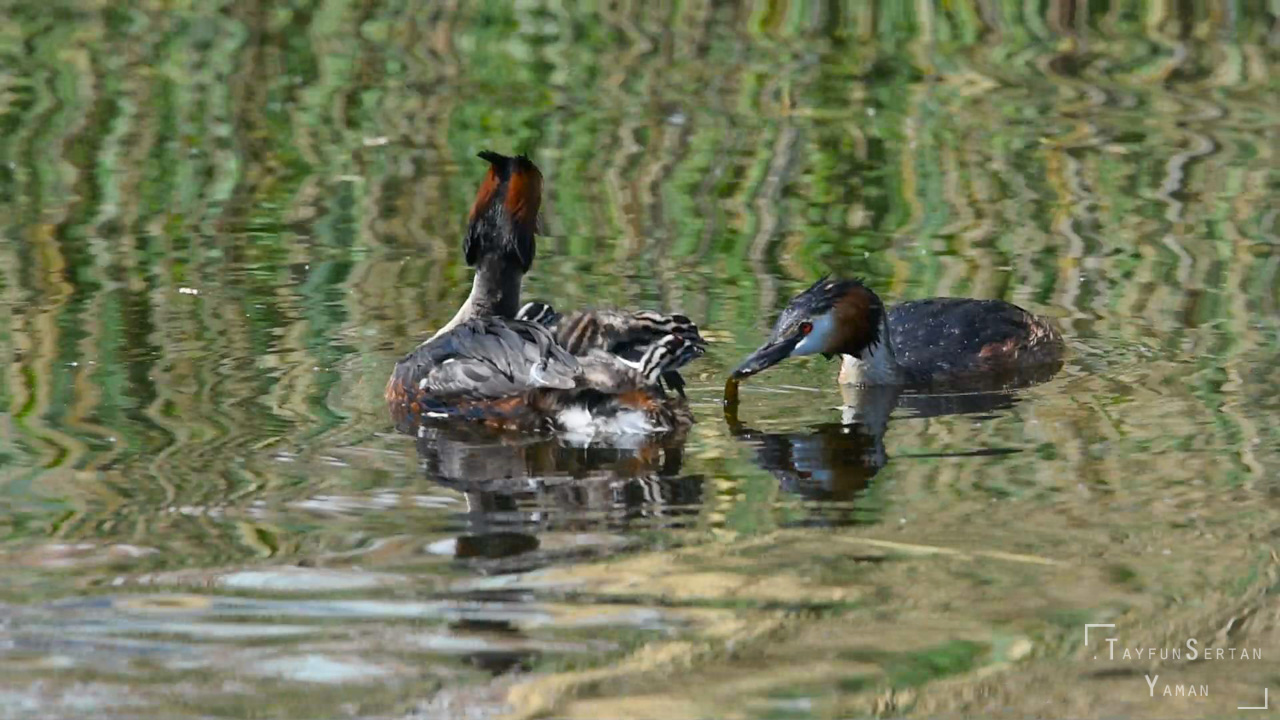 Grebe feeding their young video | sertanyaman.com photography